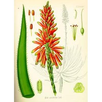 Aloe Socotrina